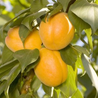 Колоновидный абрикос Априум
