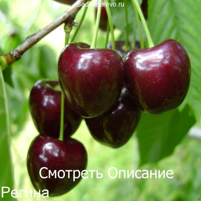 Черешня Регина