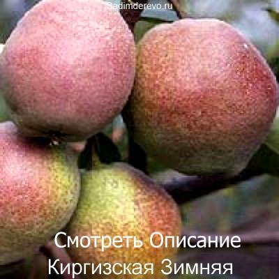 Груша Киргизская Зимняя