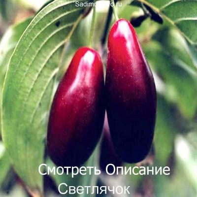 Кизил Светлячок