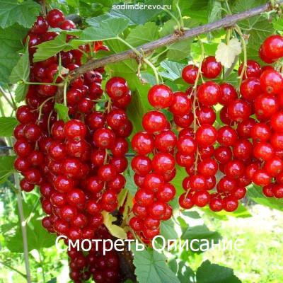 Смородина красная Джунифер