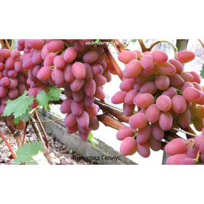 Виноград Гелиус
